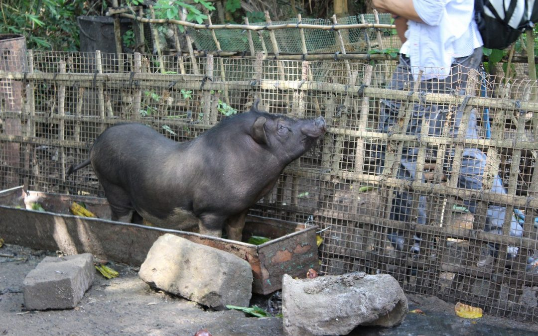 A pig's life in Bali